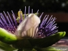 floarea_pasiunii_c2_n